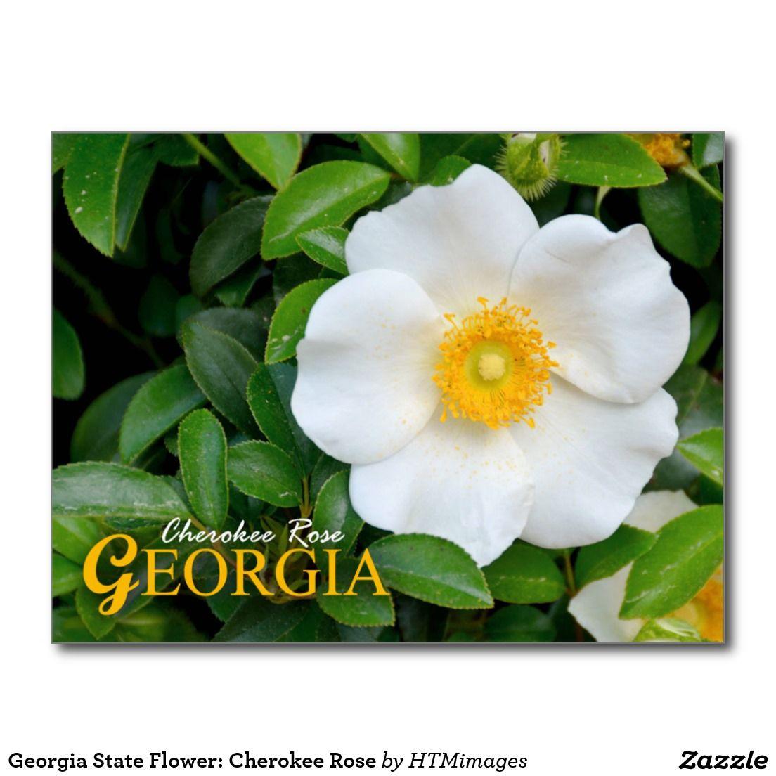 Georgia State Flower  Cherokee Rose Postcard