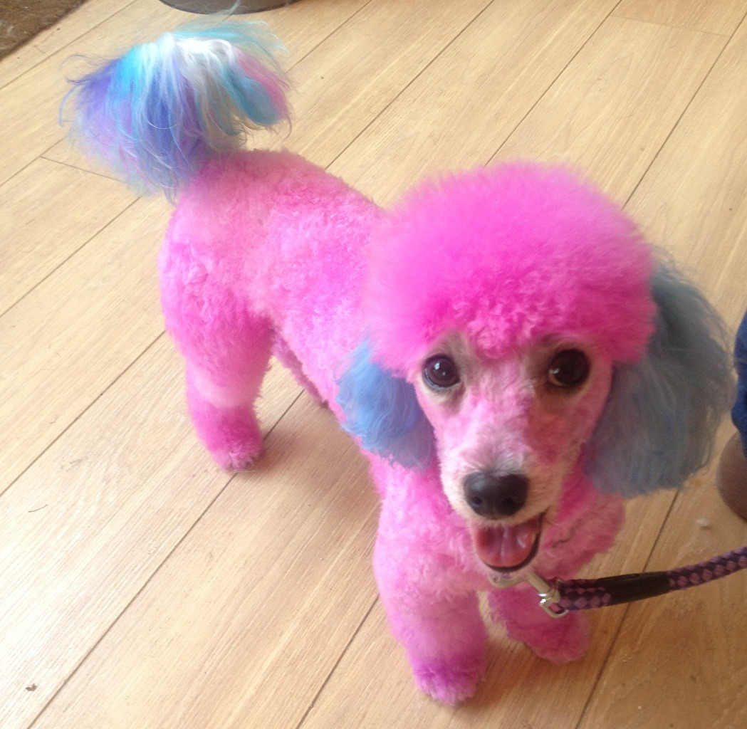 Pictures Poodle Dogs Grooming Pink Color Animals Staring
