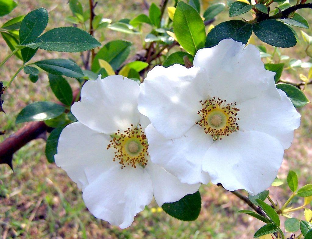 Cherokee Rose Georgia State Flower