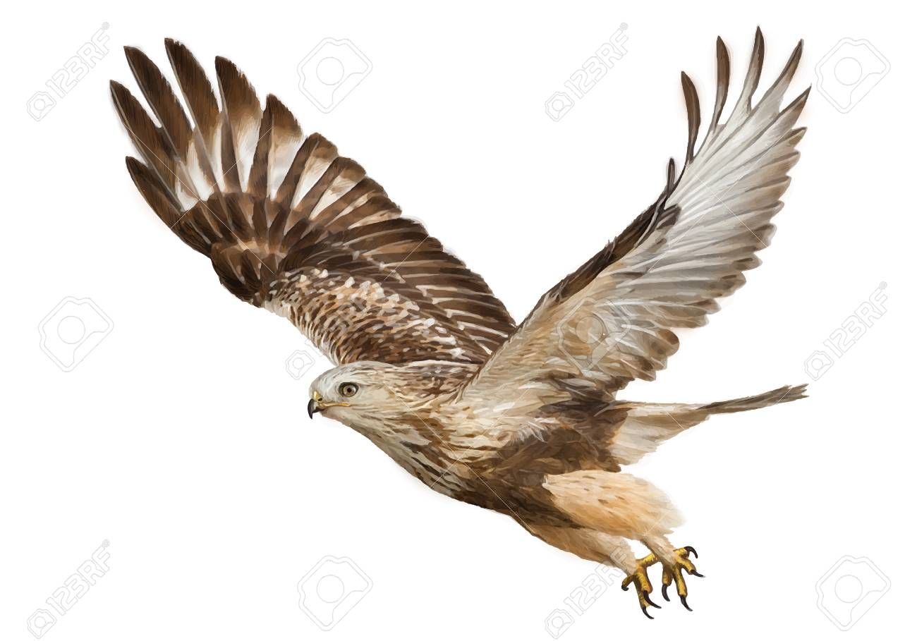 Hawk Flying Hand Draw And Paint Color On White Background Vector