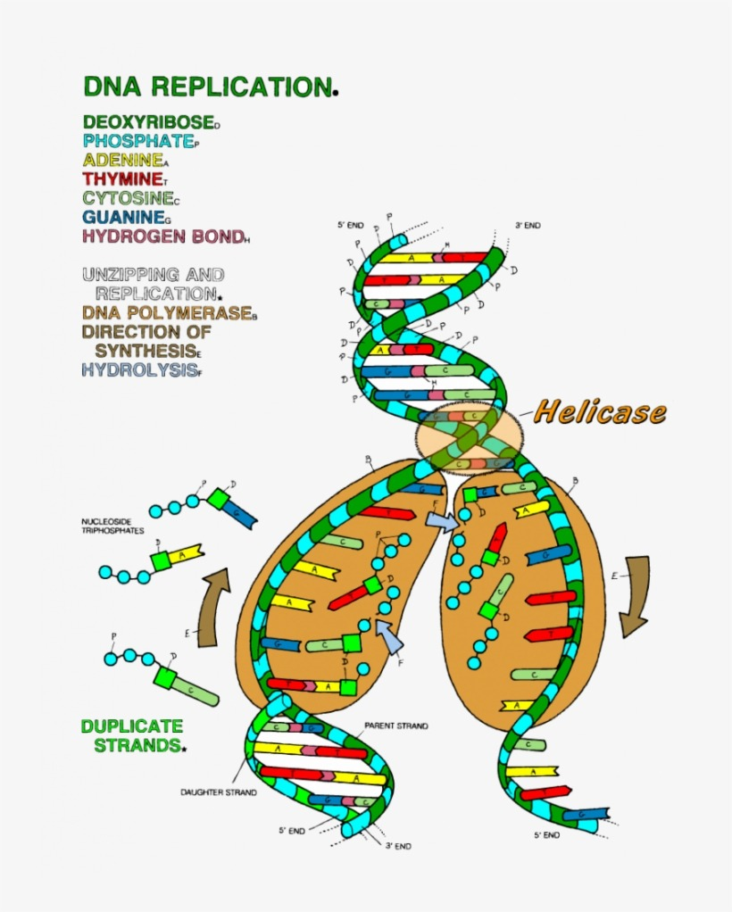 Dna Replication Coloring Key Worksheet Ideas 19 Dna