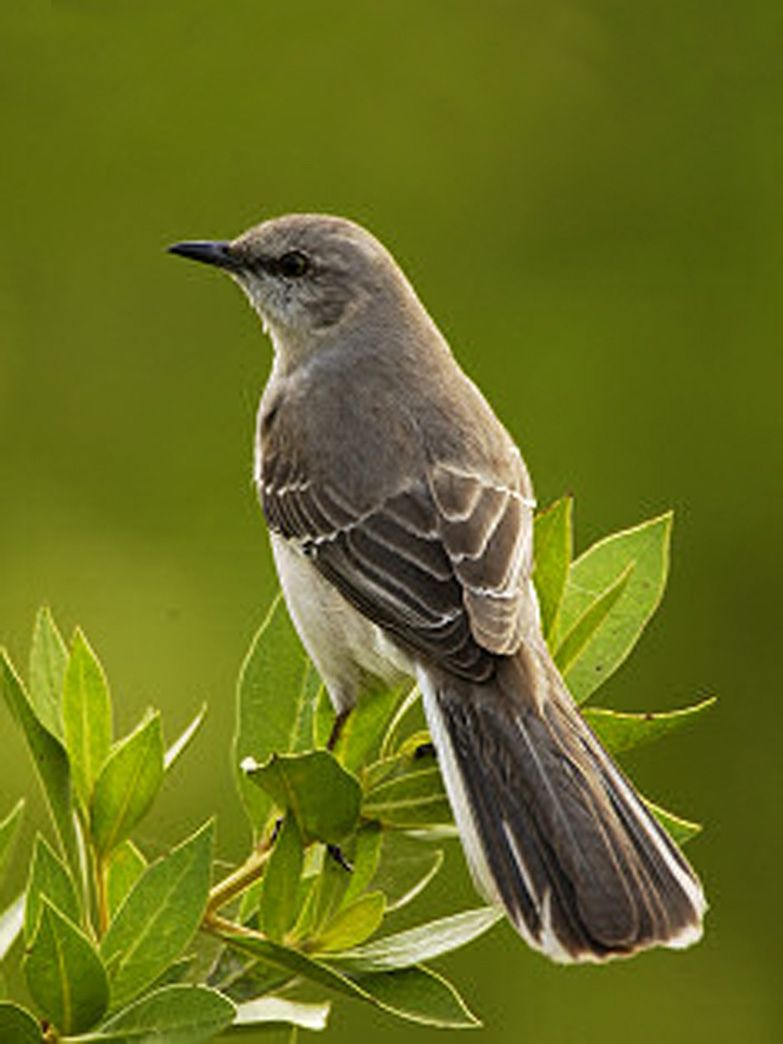 State Bird Of Texas Mockingbird