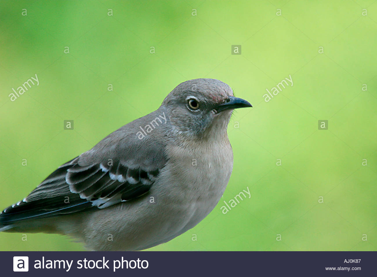 Bird Named Mockingbird Mimus Polyglottos Texas State Bird The