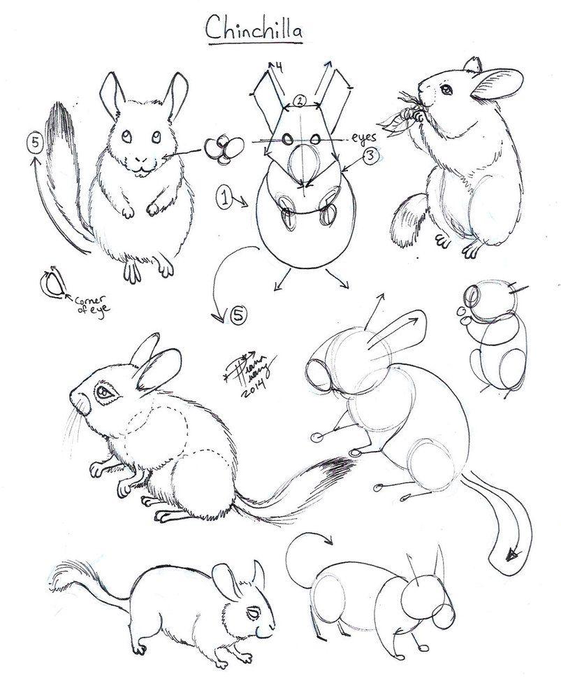 Draw Chinchilla By Diana