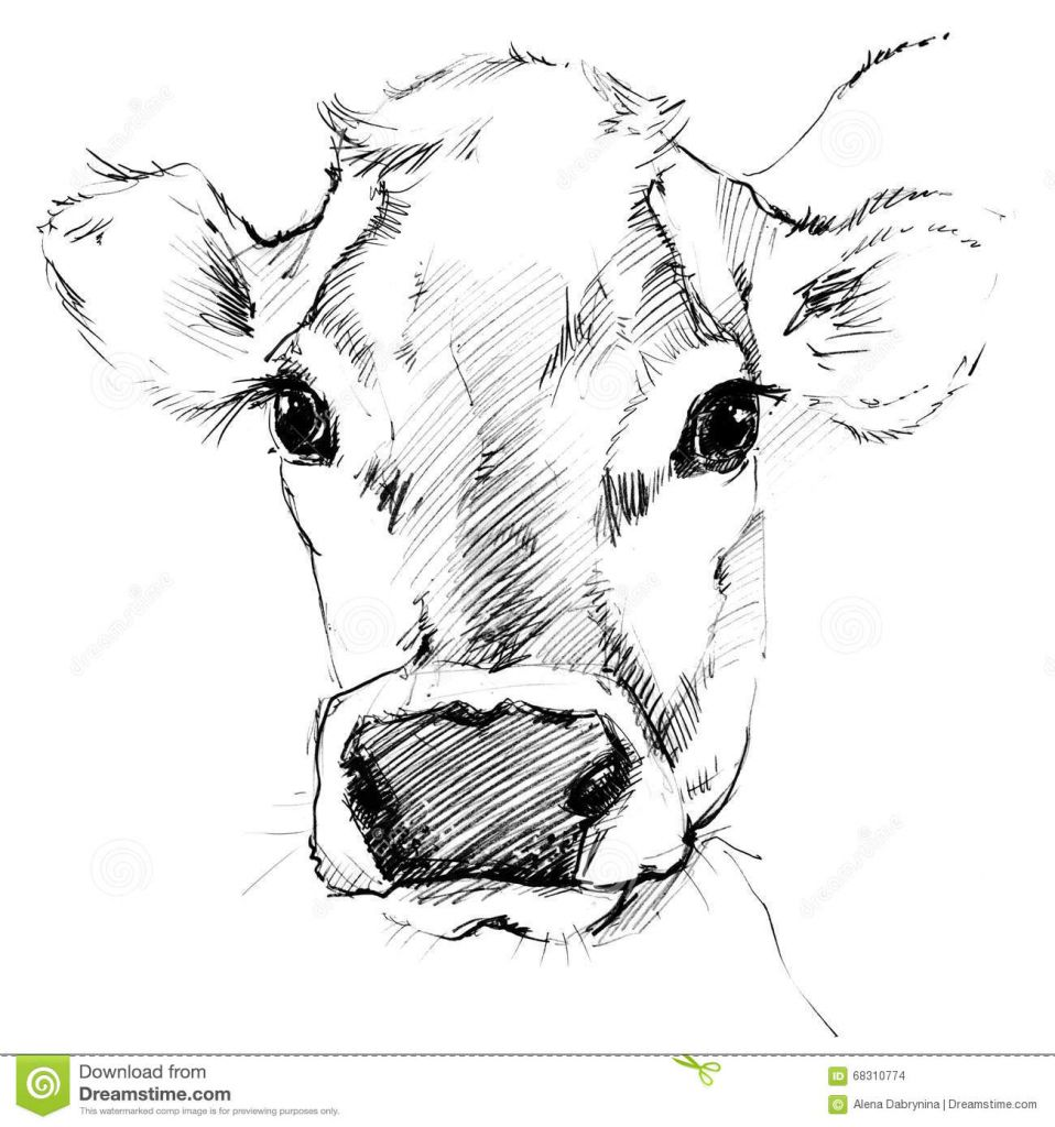 Cow Drawing Free Download On Ayoqq Org