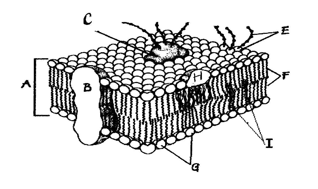 Cell Membrane Coloring Page