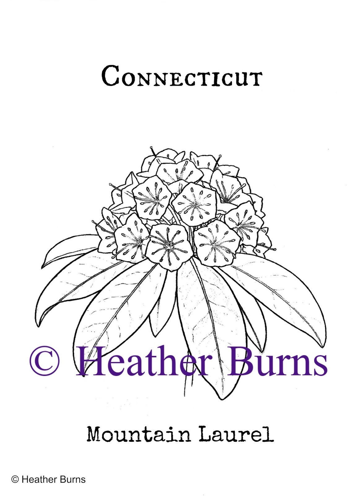 State Flower Coloring Book  Connecticut State Flower  Mountain Laurel