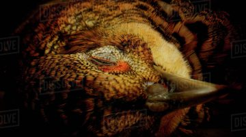 Pictures Of Pheasants To Colour