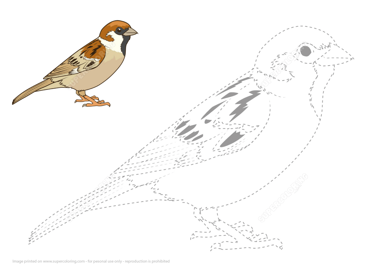 Draw A Sparrow By Tracing Dashed Line And Color