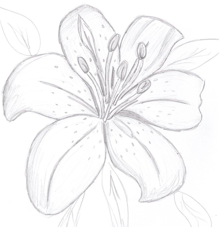 7 Lily Drawing Beautiful For Free Download On Ayoqq Org
