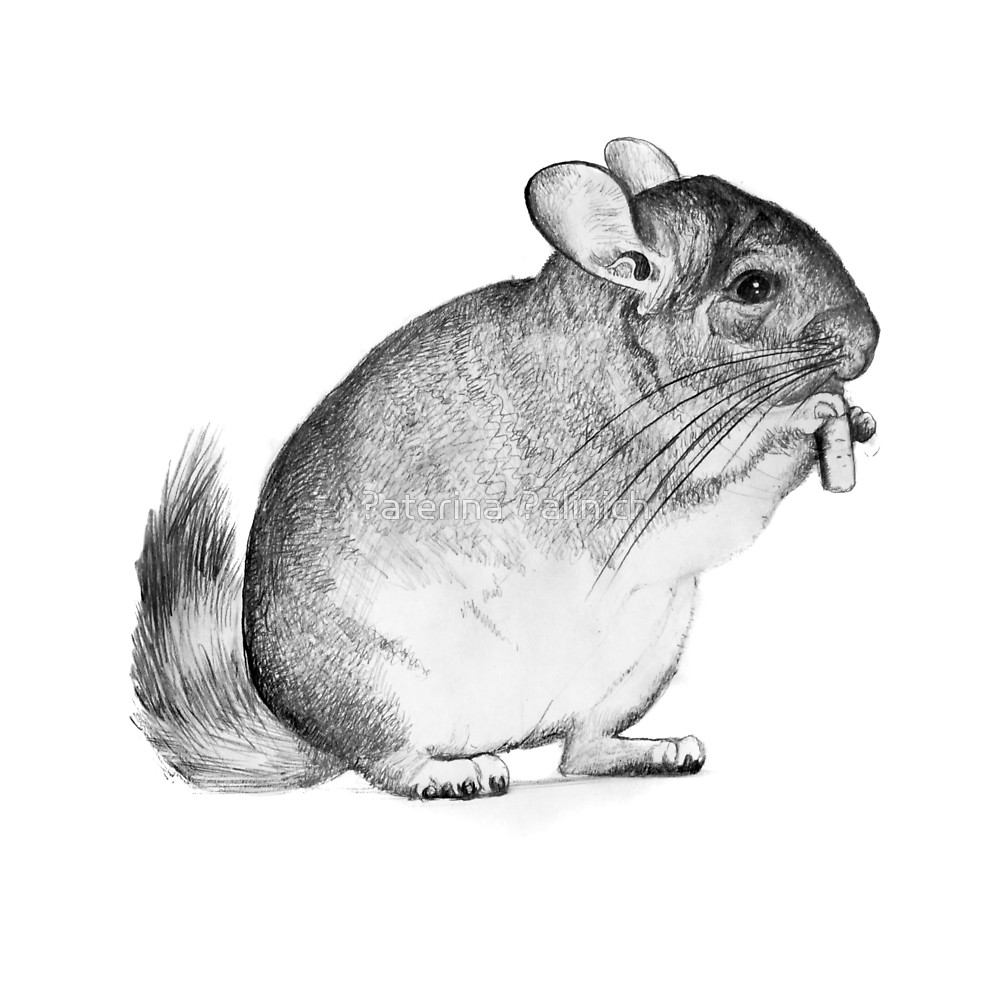 Chinchilla,drawing, Pencil ,sketch  By Кaterina Кalinich