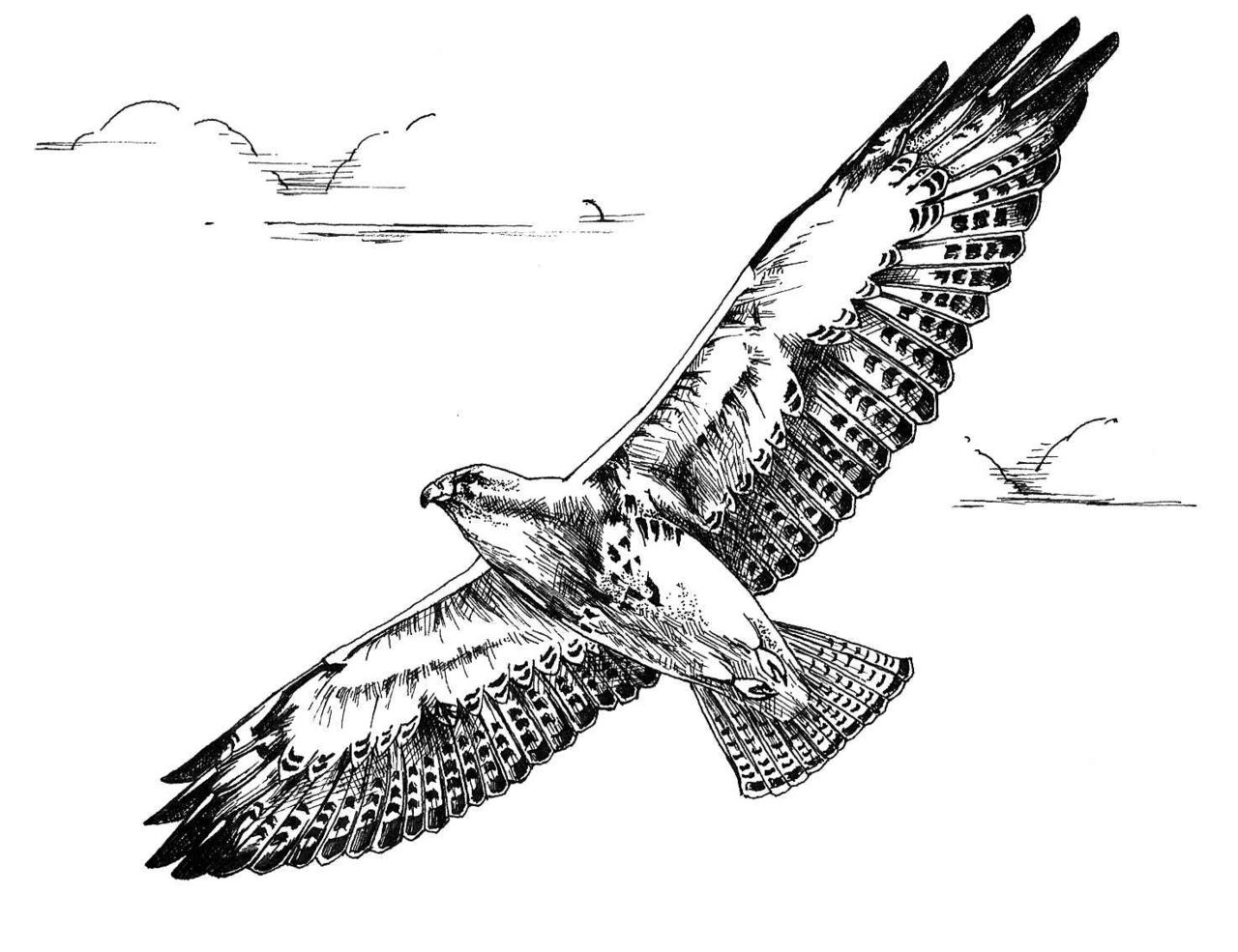 3 Hawk Drawing Flying Hawk For Free Download On Ayoqq Org