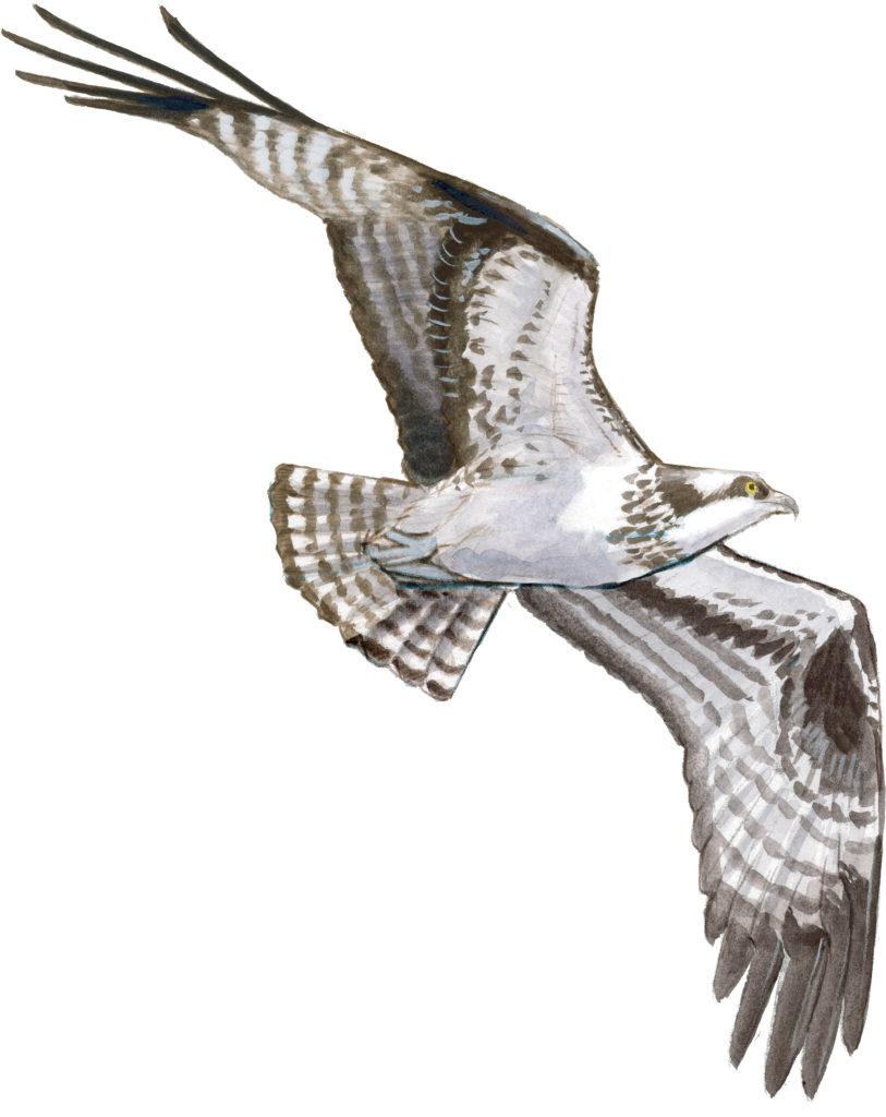 Drawing Hawks In Flight