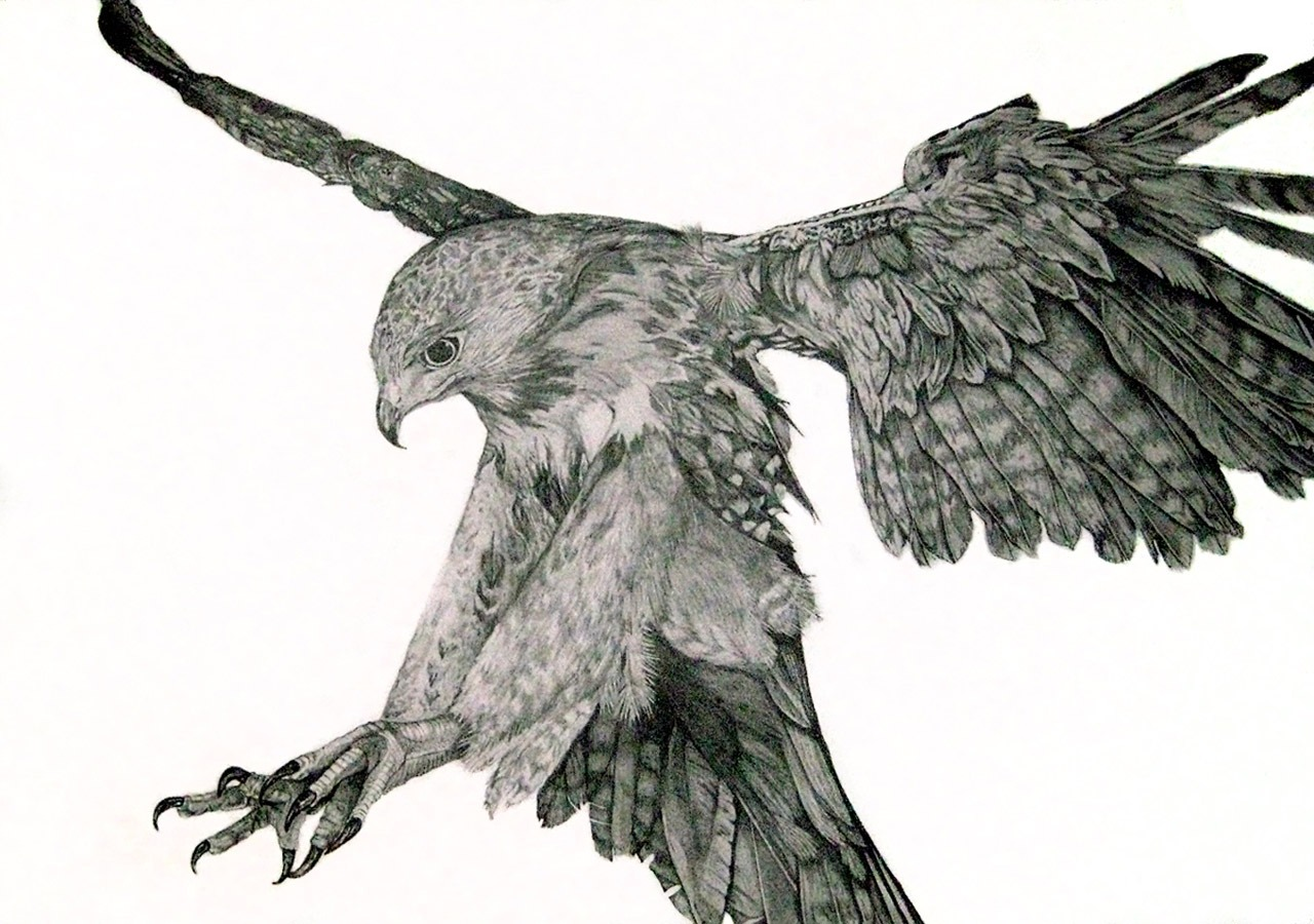Flying Hawks Drawings