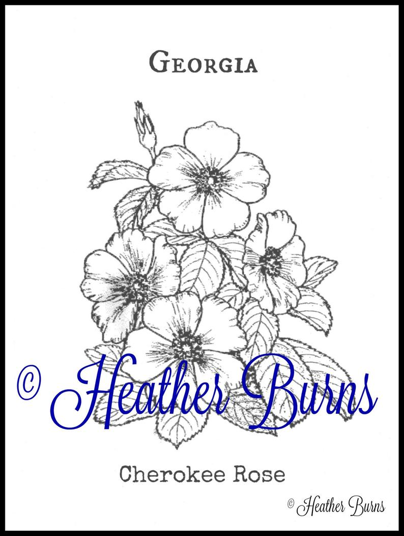 Coloring Page Cherokee Rose Georgia State Flower Adult