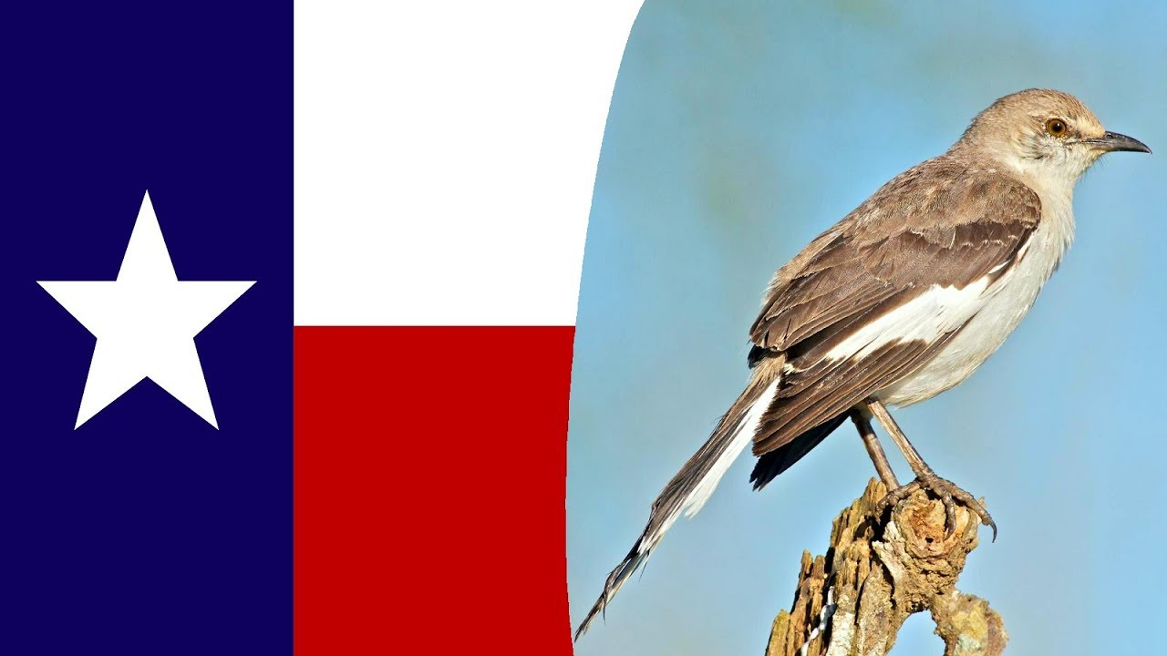 Usa State Bird  Texas