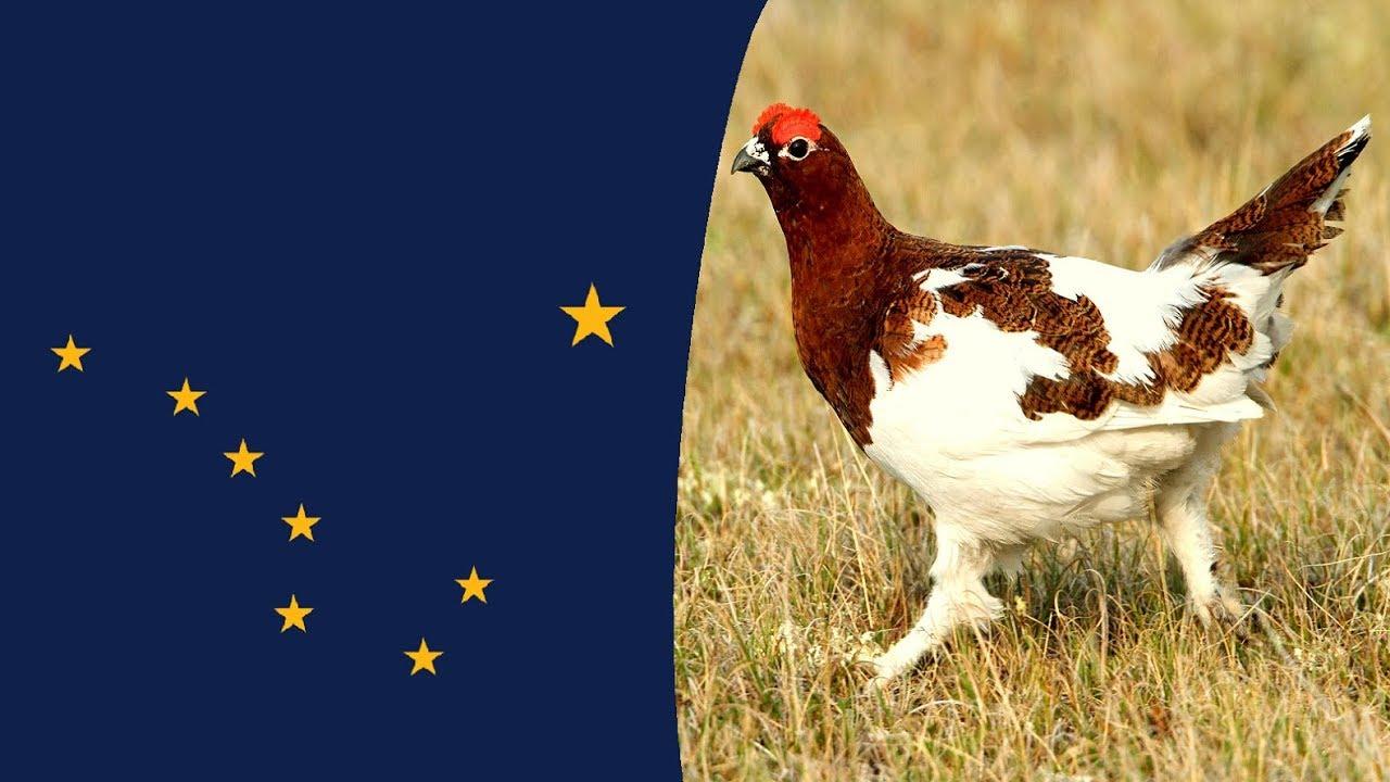 Usa State Bird  Alaska