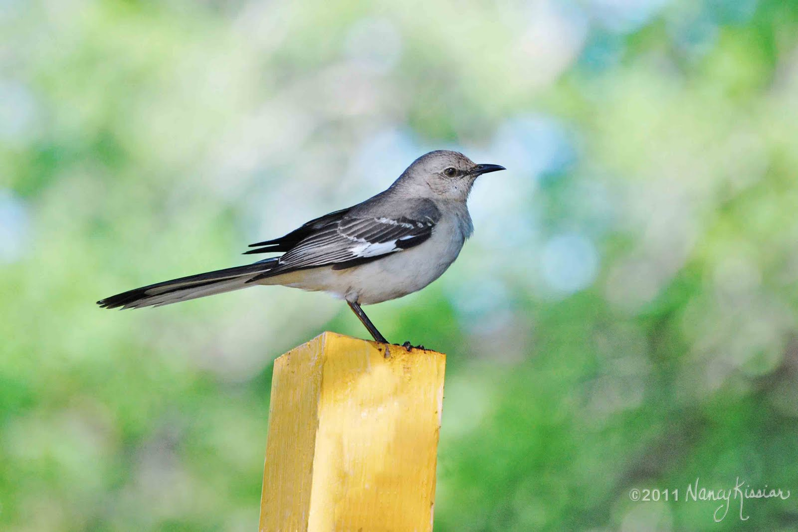 Wild About Texas  The Official State Bird Of Texasthe Mockingbird