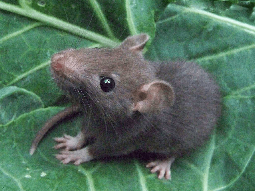 Rat Pictures