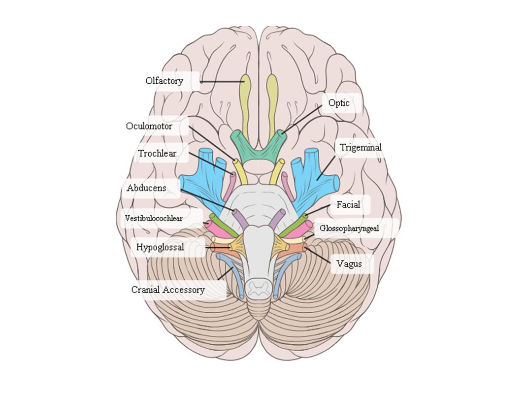 Somatic Nervous System (conscious Activities) Skin, Skeletal