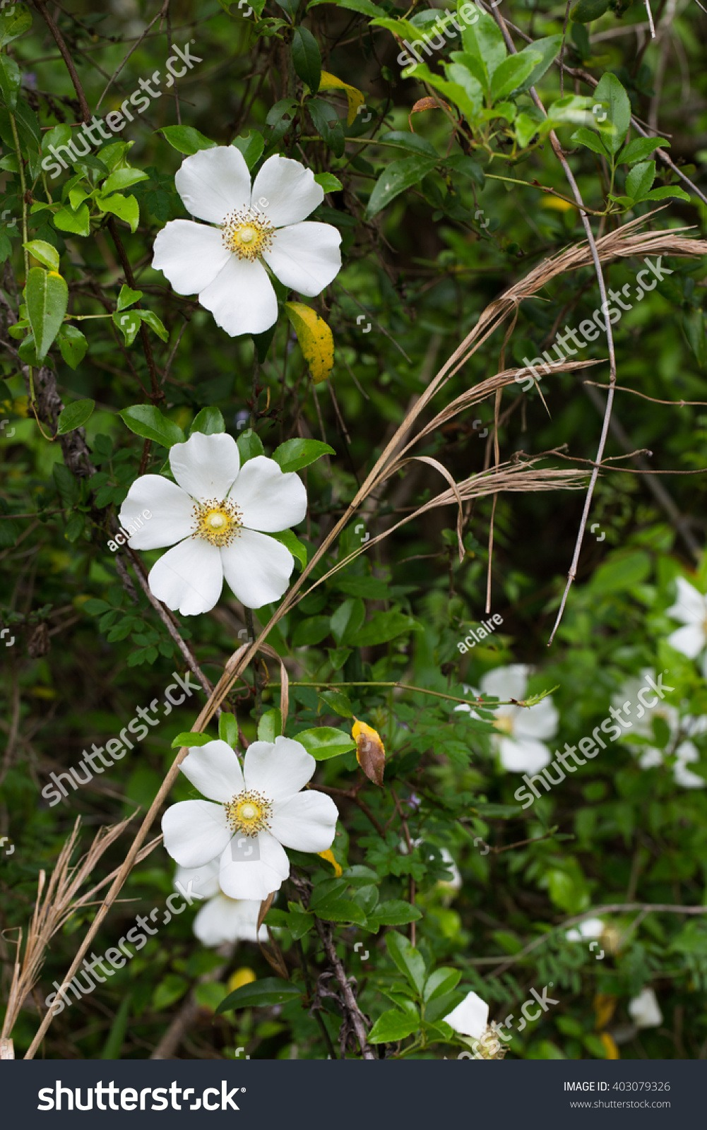 Three Cherokee Rose Blossoms Georgia State Stock Photo (edit Now