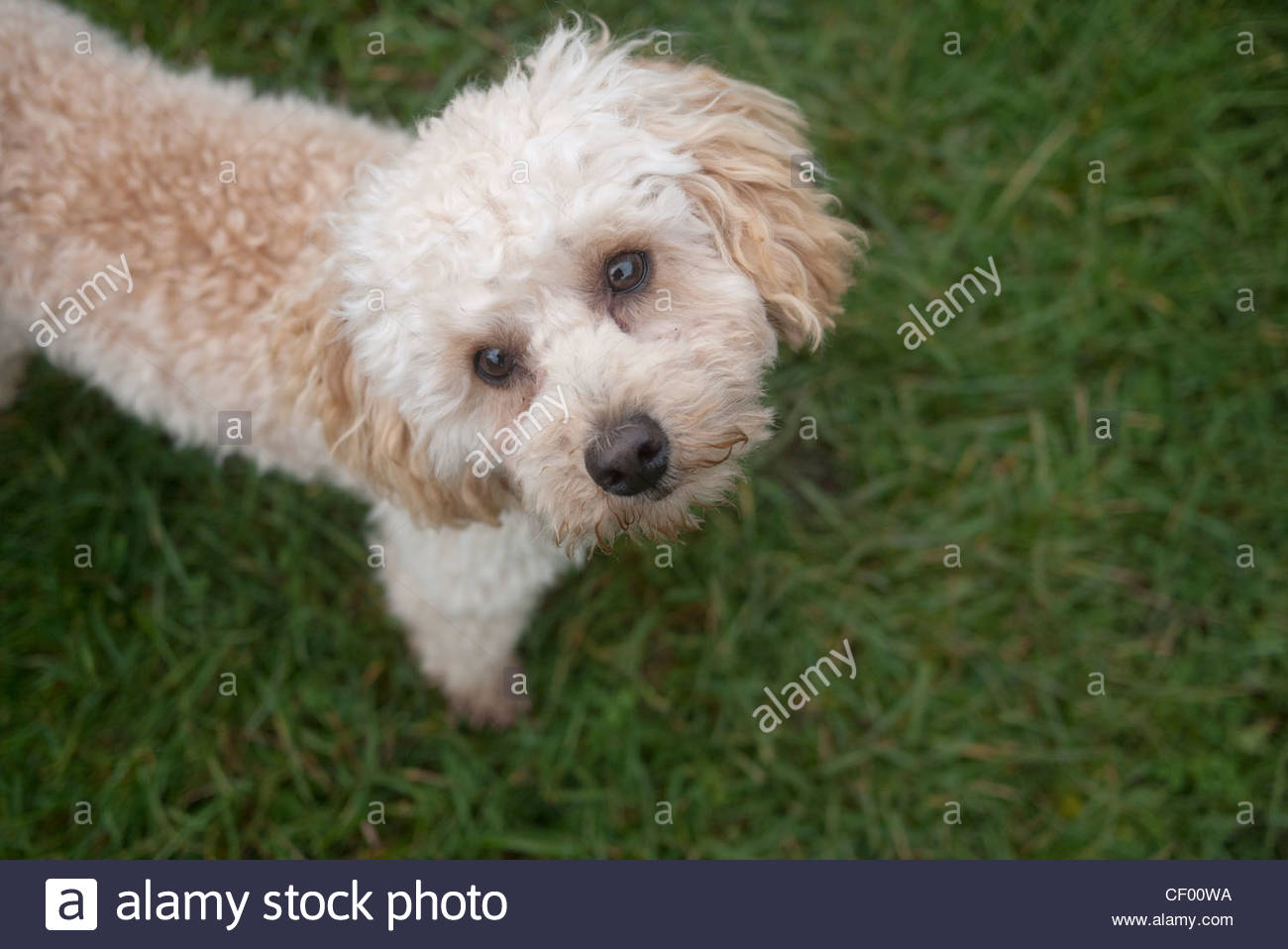 Toy Poodle, Apricot, Colour, Color Stock Photo  43641286