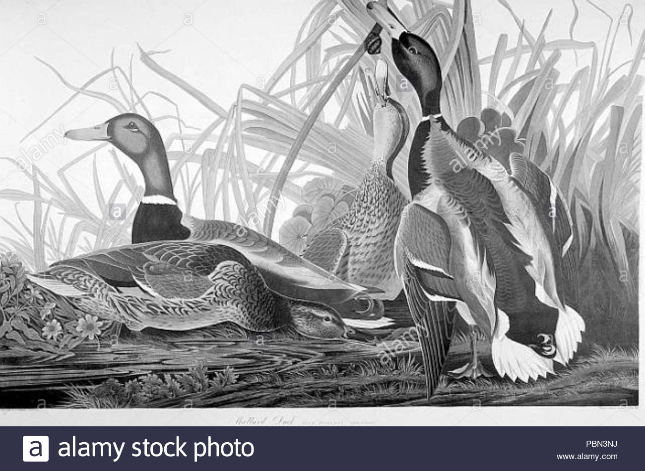 988 Mallard Ducks Drawing Stock Photo  213749582