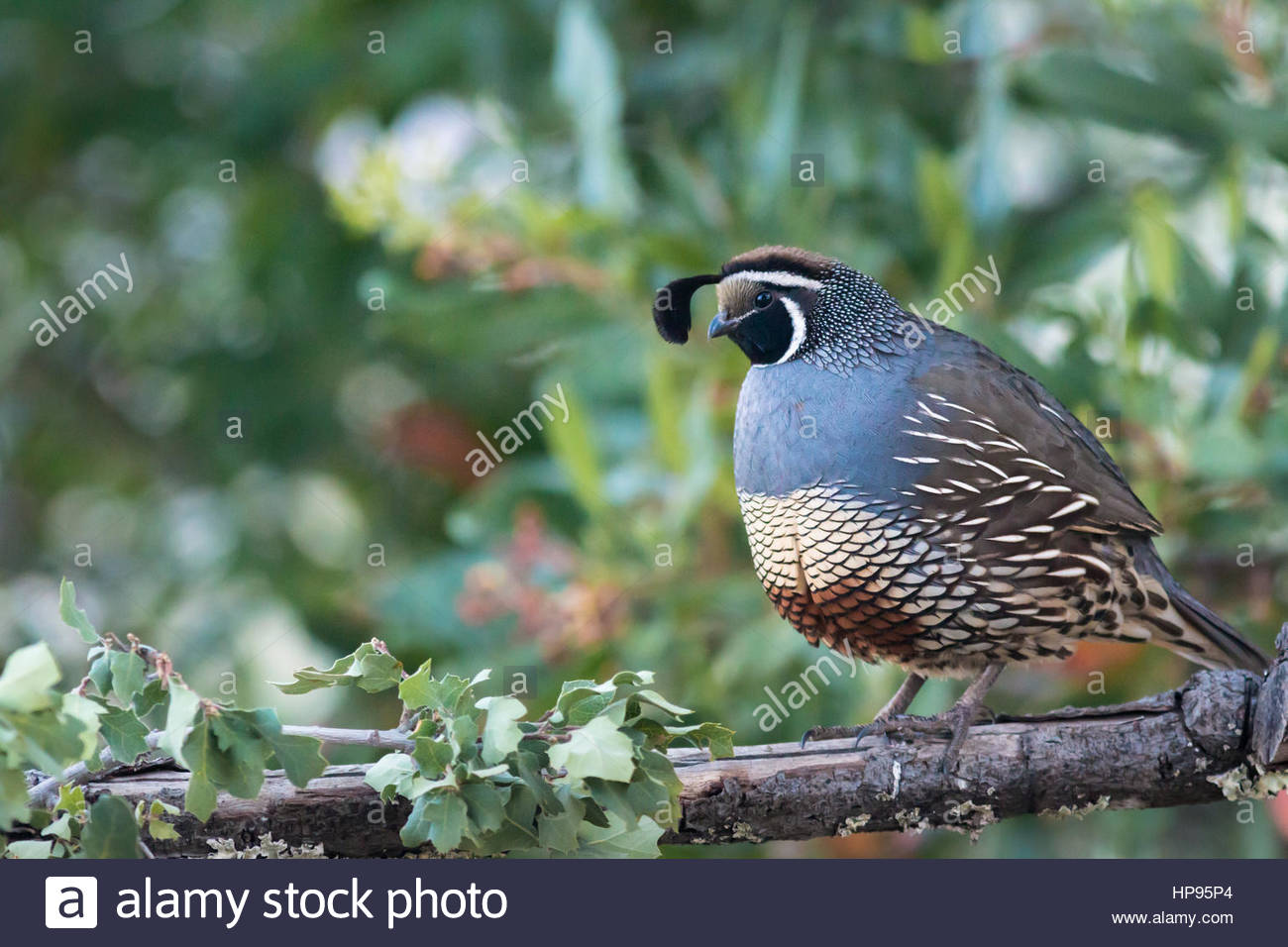 California Quail, Sometimes Called Valley Quail, Are The State