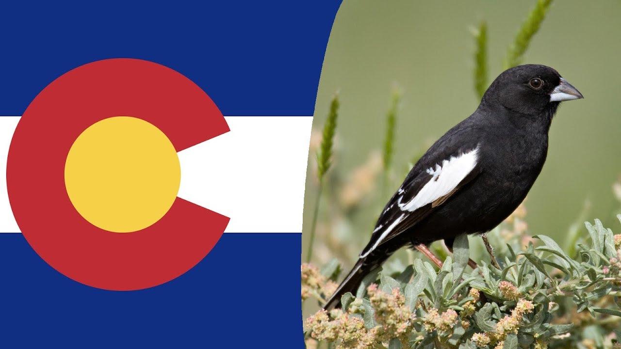 Usa State Bird  Colorado