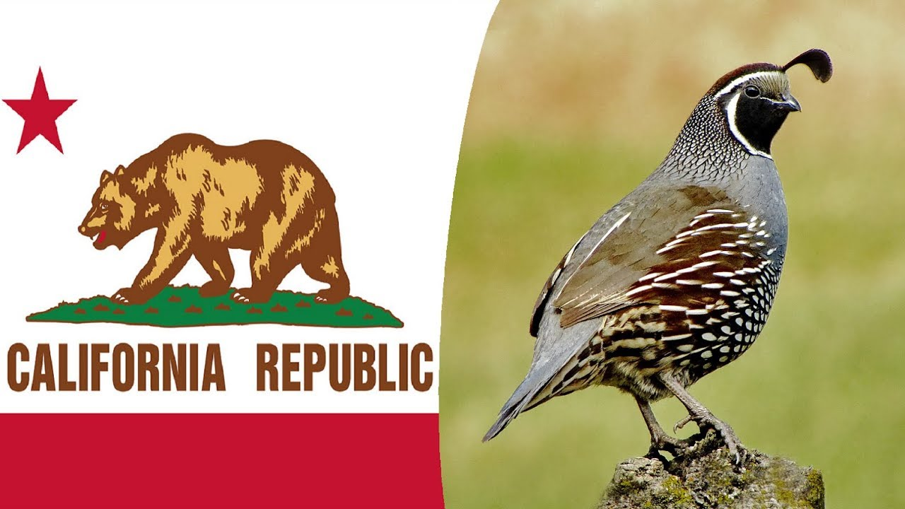 Usa State Bird  California