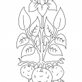 Tomato Plant Coloring Pages